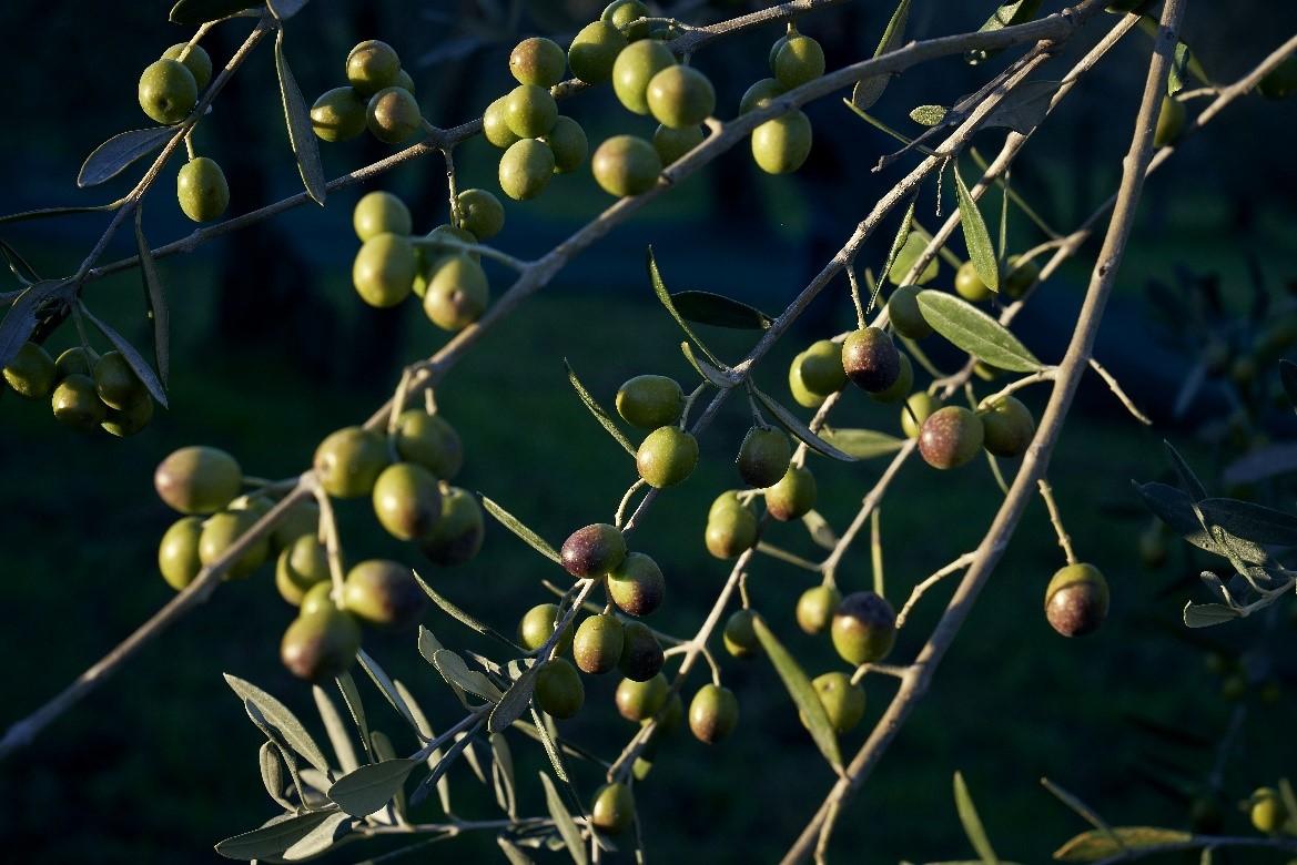 Come riconoscere un buon olio extra vergine di oliva